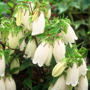 Campanula punctata 'White Bells' Колокольчик точечный