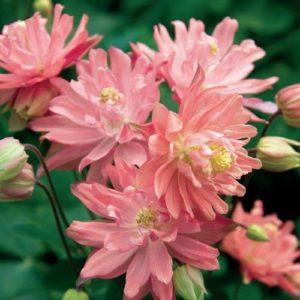 Аквилегия обыкновенная или водосбор Aquilegia vulgaris Clementine Salmon Rose