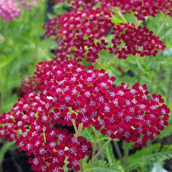 Тысячелистник обыкновенный Achillea millefolium Summerwine