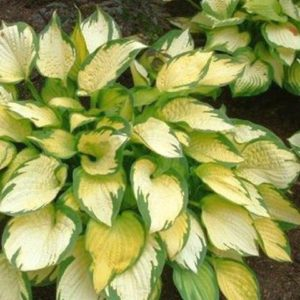 Хоста Hosta  'Orange Marmalade'