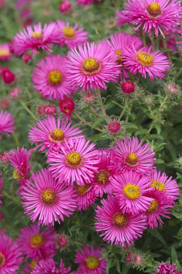 Aster alpinus 'Wargrave pink'