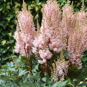 Astilbe arendsii   'Look at Me'