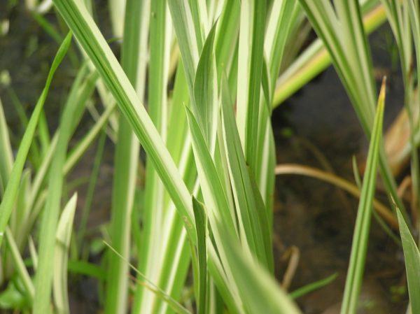 Acorus calamus 'Variegatus' Аир болотный ( аир обыкновенный)