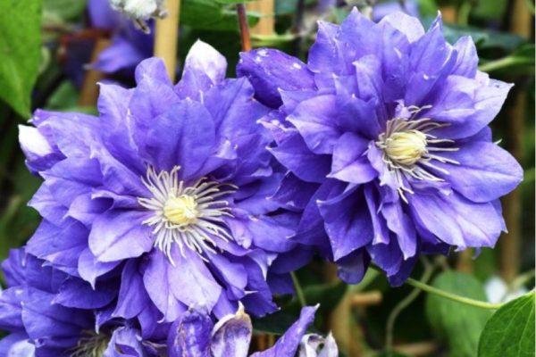 Аквилегия обыкновенная Aquilegia vulgaris Clementine Blue Tuned