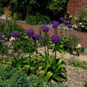 Allium 'Power Puff'