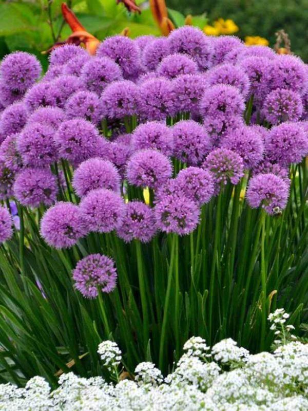 Allium  millenium,Лук декоративный