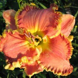 Grin Garden Лилейник Barbara Barnes