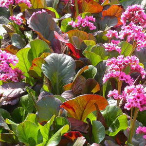Бадан гибридный Bergenia hybridа Magic Giant
