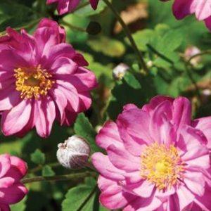 Anemone hupehensis 'Pretty Lady Julia'