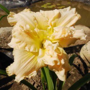 Лилейник Hemerocallis  'Ikebana Star'