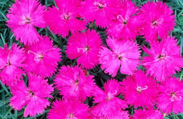 Гвоздика перистая Dianthus plumarius Neon Star