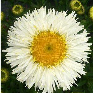 Ромашка(нивяник большой) Leucanthemum х superbum  'Real Galaxy'