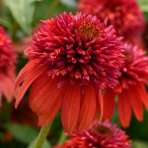 Эхинацея пурпурная Echinacea purpurea Double Scoop Raspberry