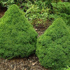 Ель канадская Альберта Глоб (Picea glauca Alberta Globe)