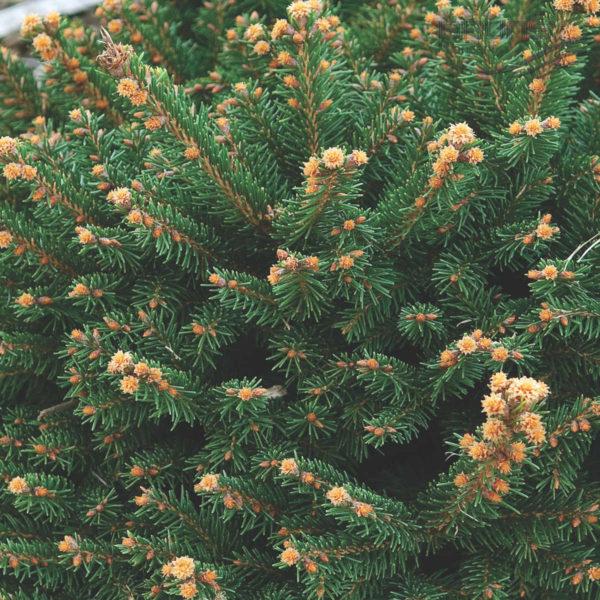 """Ель обыкновенная """"Пигмея"""" (Picea abies Pygmaea)"""