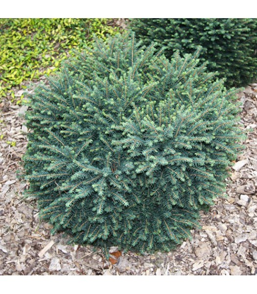 Ель сербская «Карел» Picea omorika 'Karel'