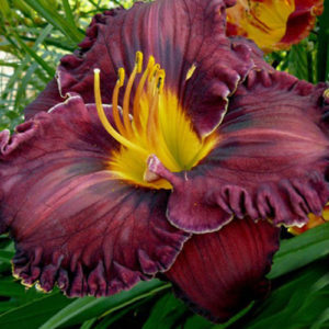 Лилейник Hemerocallis  'Purplelicious'