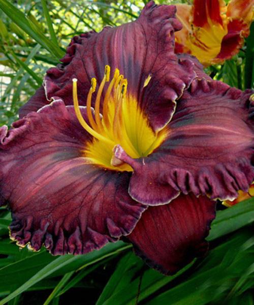 Лилейник Hemerocallis  'Purplelicious'