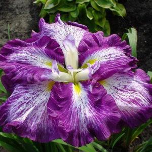 Iris sibirica  'Harlequinesque'