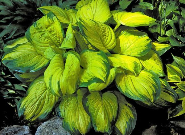 Хоста Hosta   'Stained Glass'