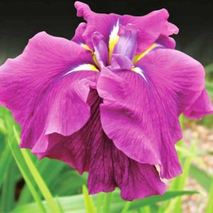 Iris sibirica  '  'Good Omen'