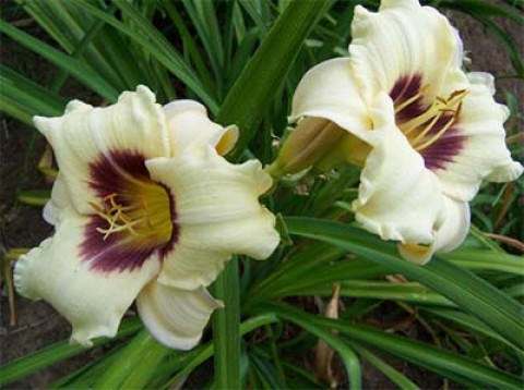 Лилейник Hemerocallis  'Pandora's Box'