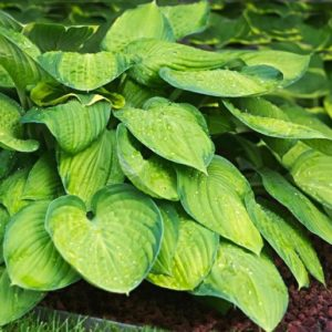 Хоста Hosta  'Just So'