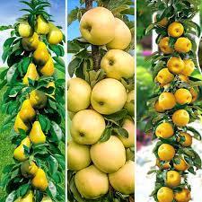 Яблоня «Болеро»,Яблоня колоновидная «Желтое»,Груша колоновидная «Г-1»