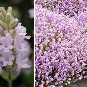 Lavandula angustifolia 'Ellagance Pink' Лаванда узколистная
