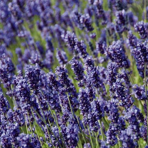 Lavandula angustifolia 'Hidcote Blue'  Лаванда узколистная