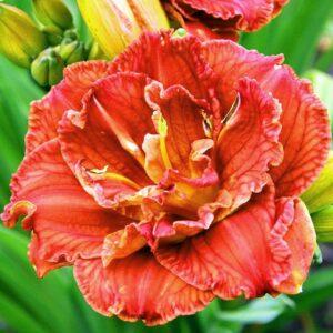 Лилейник Hemerocallis 'Paprika Flame'