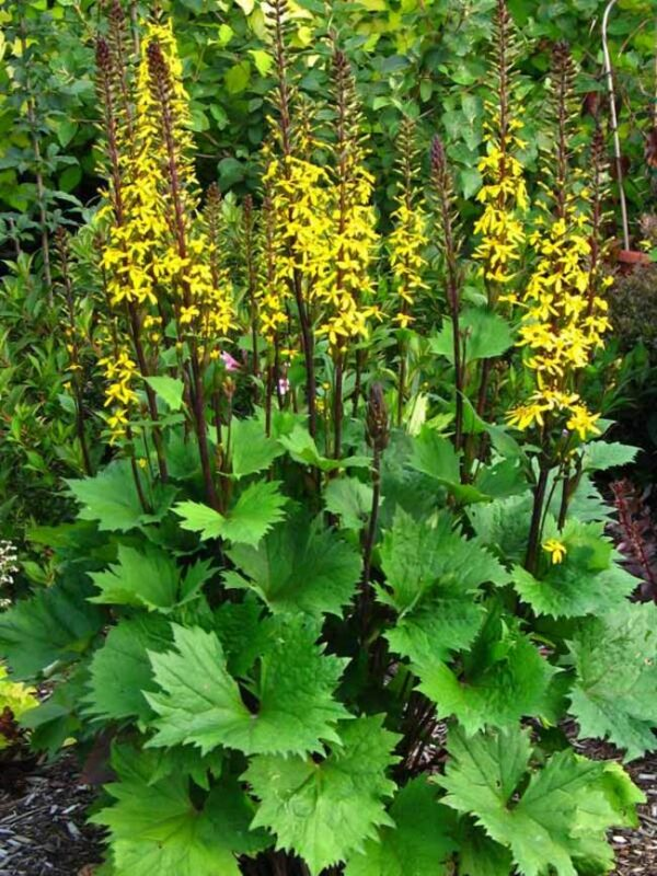 Ligularia stenocephala 'Little Rocket' Бузульник узкоголовчатый