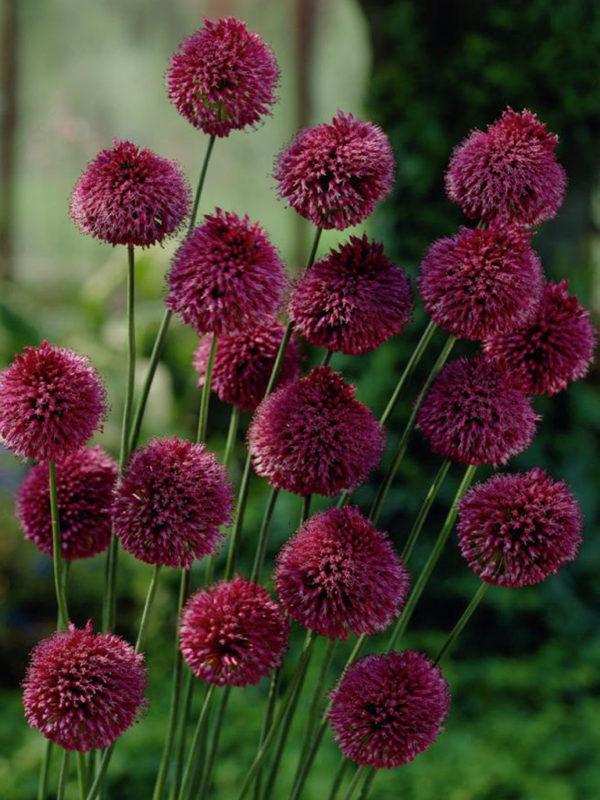 Allium 'Sphaerocephalon'
