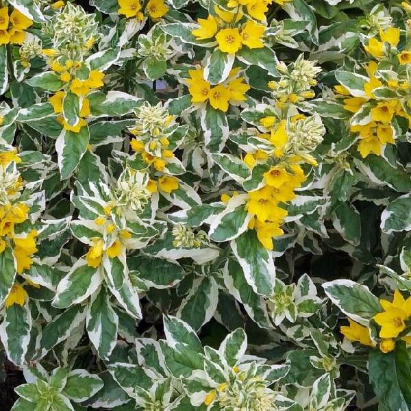 Lysimachia punctata 'Alexander'Вербейник точечный