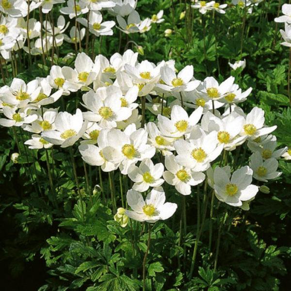 Anemone multifida 'Annabella White',Анемона многонадрезная