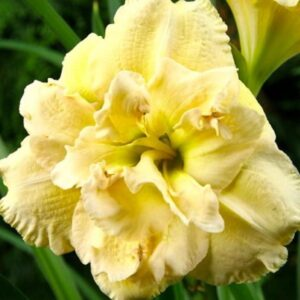 Лилейник Hemerocallis  Bowl of Cream
