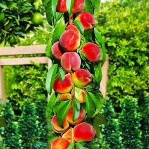 Колоновидные формы плодовых