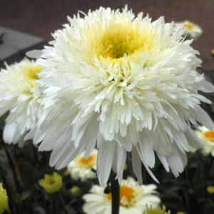 Ромашка(нивяник большой) Leucanthemum х superbum  'Fiona Coghill'
