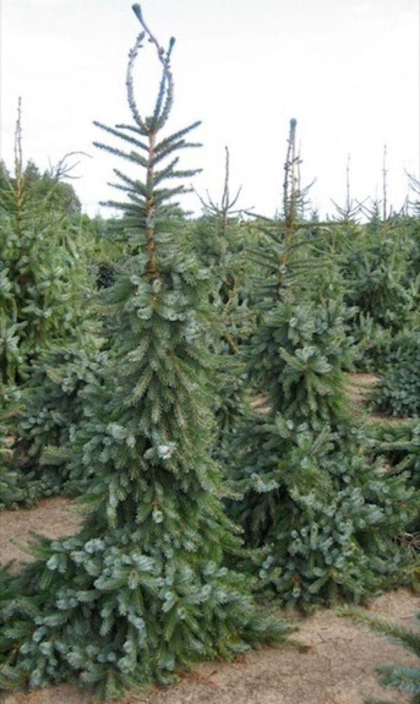 """Ель сербская """"Picea omorika"""""""