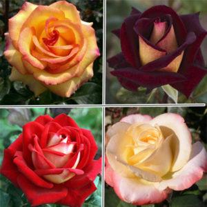Супер набор из 10 чайно-гибридных роз разных сортов