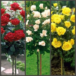 Супер набор из трех штамбовых роз разных сортов