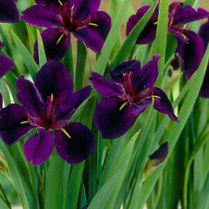 Iris  'Black Gamecock' Ирис луизианский