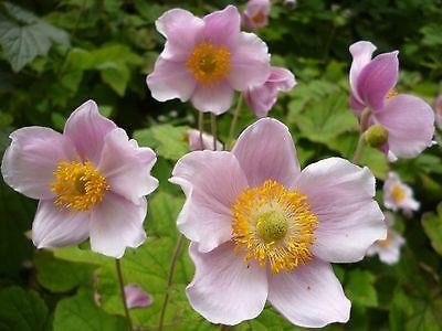 Anemone japonica  , Анемона  японская