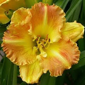 Лилейник Hemerocallis    'Joan Senior'