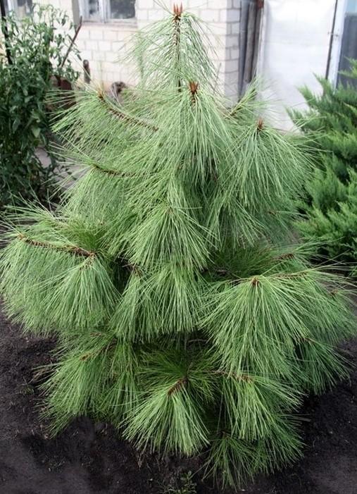 Сосна желтая, Pinus ponderosa