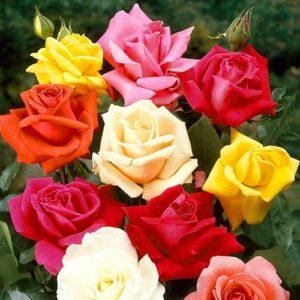 Супер набор из 5 чайно-гибридных роз разных сортов