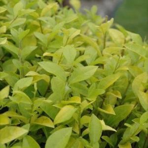 Бирбчина желтолистная