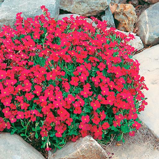 Обриета гибридная Aubrieta hybrida  'Red Cascade '