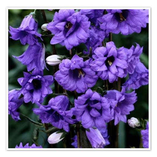 Campanula trachelium  Bernice  Колокольчик крапиволистный