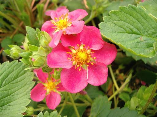 Fragaria 'Pink Panda' (Red Ruby)Земляника декоративная